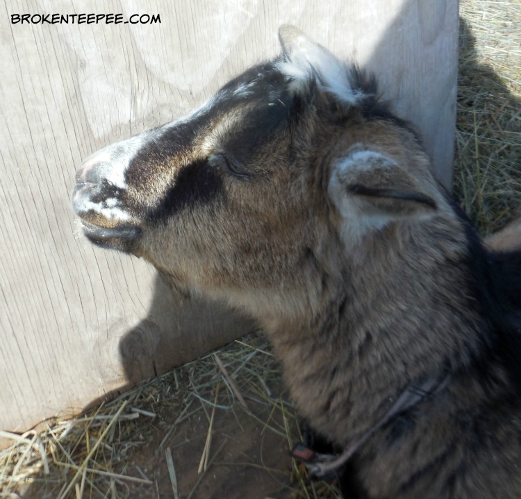 Famous SpokesGoat Pricilla, basking in the sun, The Happy Goats
