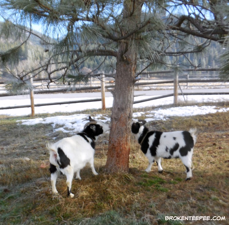 tree nibbling, The Happy Goats, Thelma the goat, Nora the goat