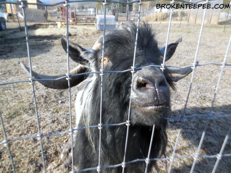 Luke the goat