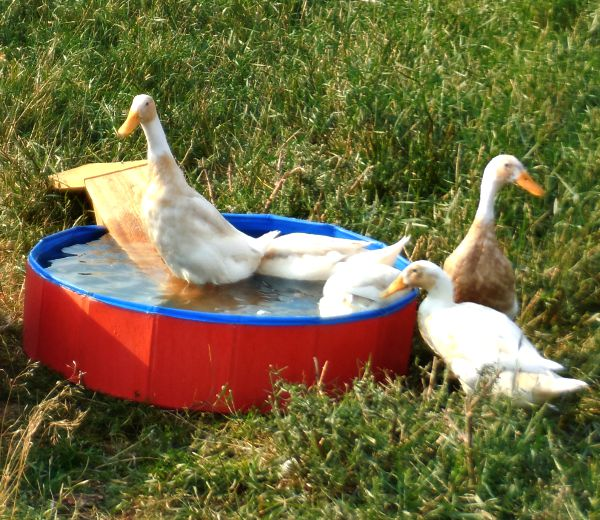 Building a duck pond,the Happy Ducks, smartpond, #ad