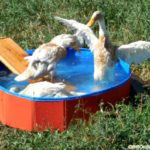 An Upgrade for the Happy Ducks – We're Building a Duck Pond