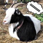 spoiled goats, The Happy Goats, Thelma the goat
