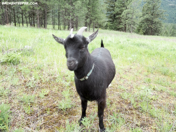 Friday's Hunt, Week's Favorite, Starts with W, Rough, Jenn the goat, Debbie the goat, photos from Montana
