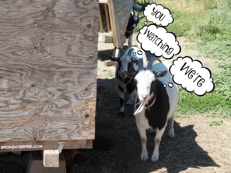 adding a pond, duck pond, smartpond, the Happy Goats, #ad