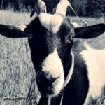 Friday's Hunt, Week 28 – Goat Photos
