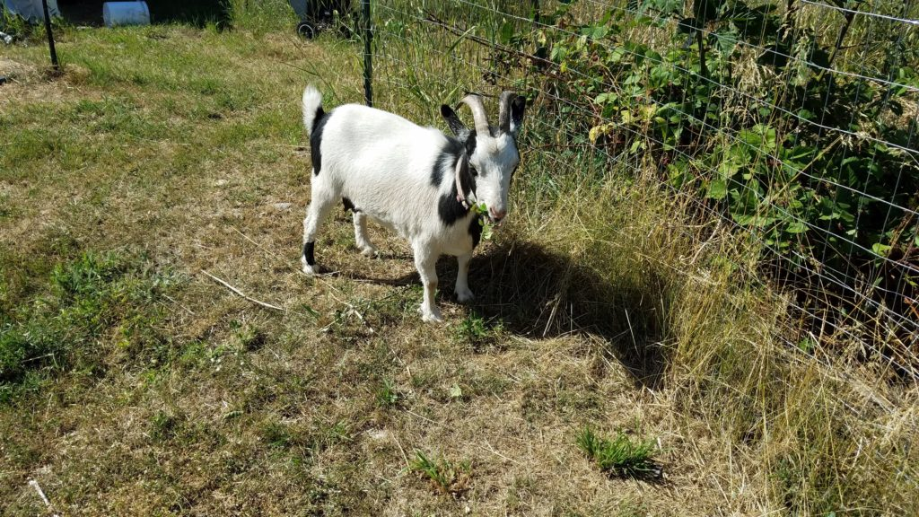 Friday's Hunt, goat photos, Thelma the goat