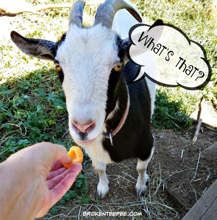 apricots, apricot sauce, apricot recipes, Thelma the goat