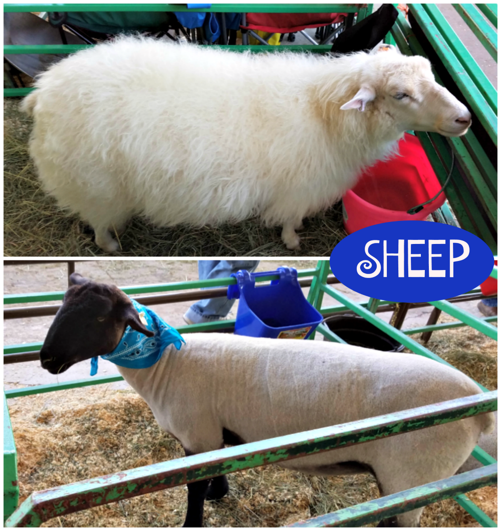 Western Montana Fair, what to do in Missoula, sheep