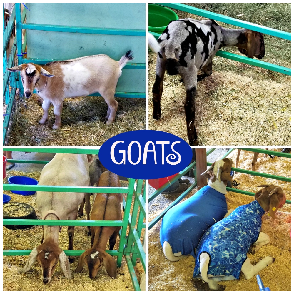 Western Montana Fair, what to do in Missoula, goats