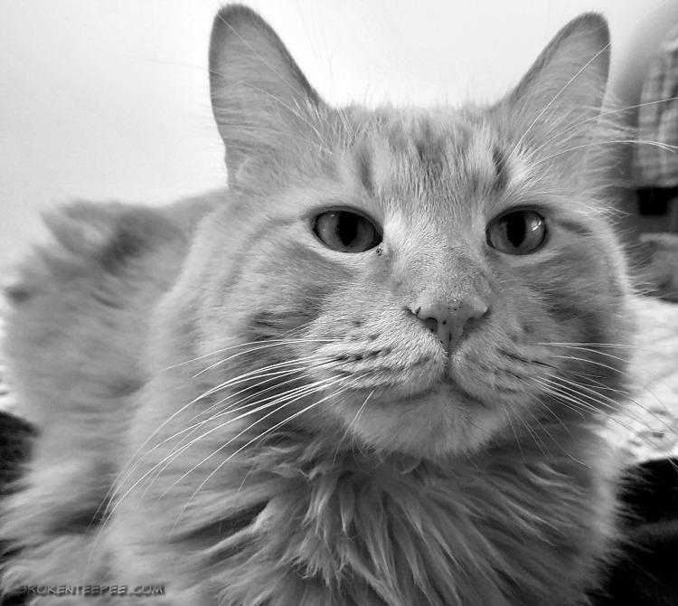Friday's Hunt, cat photos, Sherpa the Farm cat