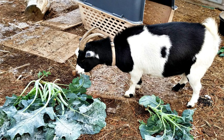 Friday's Hunt, goats,Louise the goat, starts with P, Week's Favorite, Whole