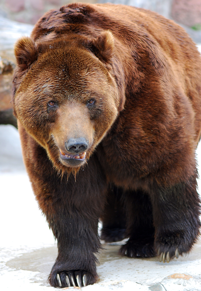 grizzly bear, stock photo