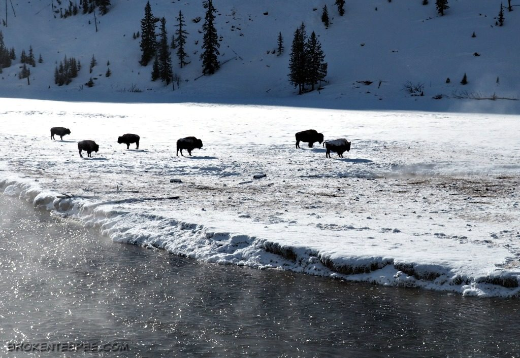 Yellowstone snowcoach tour, Yellowstone Vacations, bison, Yellowstone National Park, AD