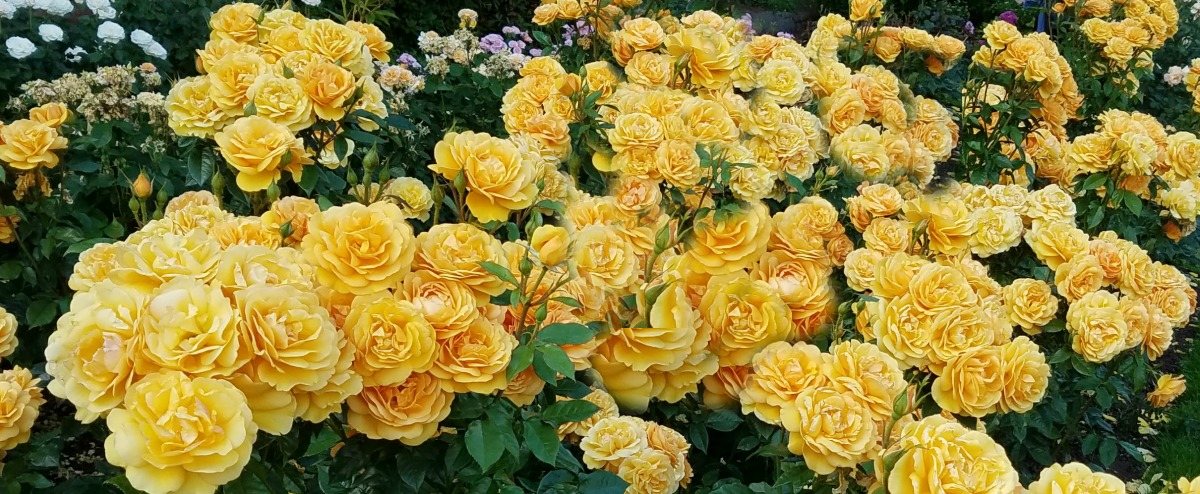 TravelPortland – The International Rose Test Garden