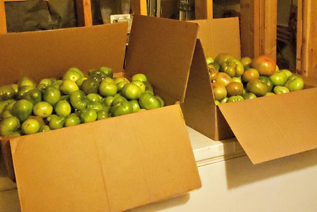 green tomatoes in boxes