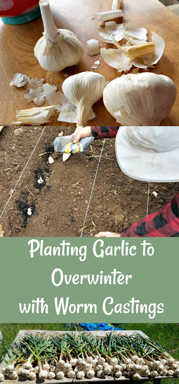 worm castings, Circle M Farms, planting garlic, AD