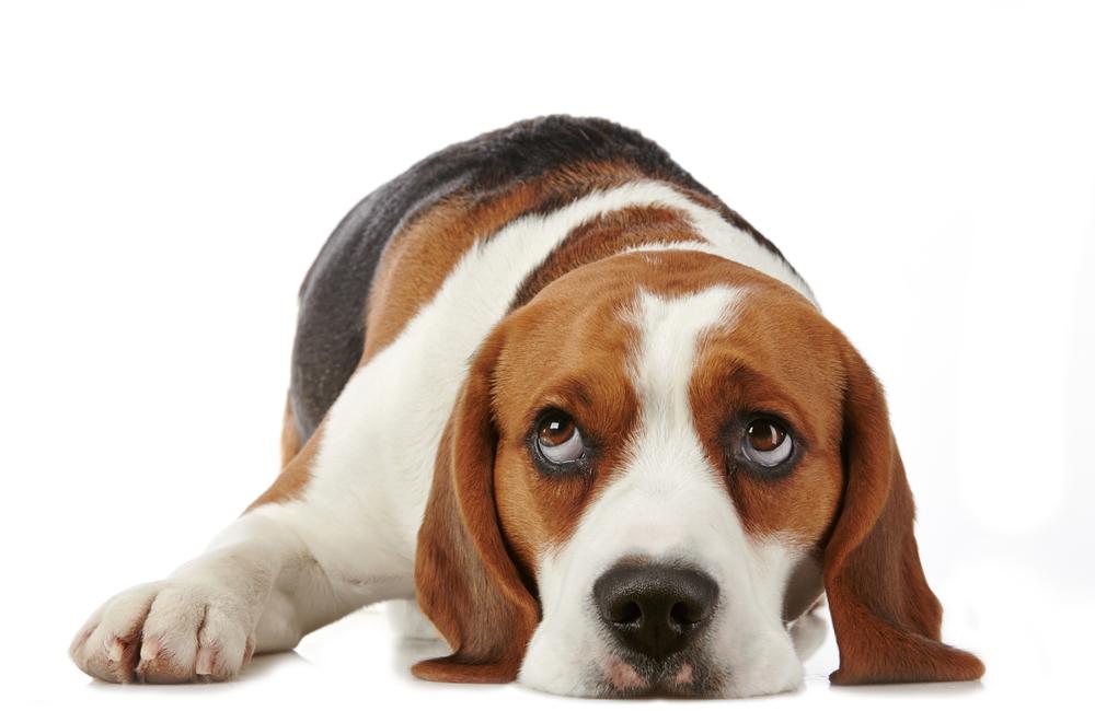 TrustedHousitters, beagle, AD