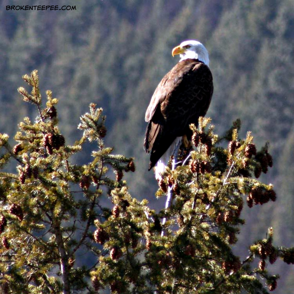 Birdwatching in Montana, Backyard Birds, Birding Logbook, bald eagle, AD