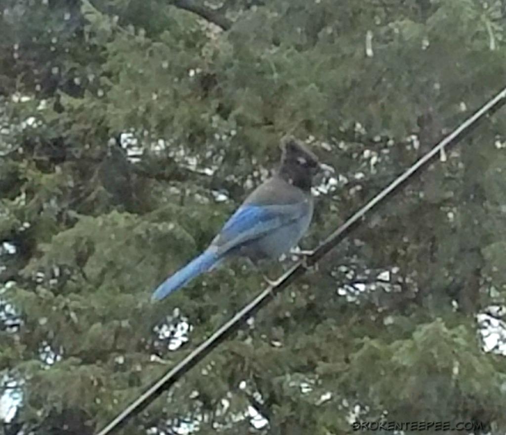 Birdwatching in Montana, Backyard Birds, Birding Logbook, steller's jay, AD