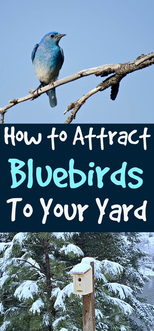 Attract Bluebirds to Your Yard - Some Simple Tips to Help