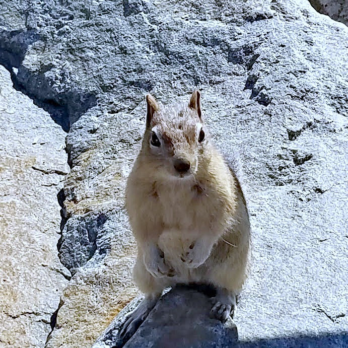 Beartooth Highway, Beartooth Pass, Beautiful Drives in Montana, National scenic highway, golden mantle ground squirrel