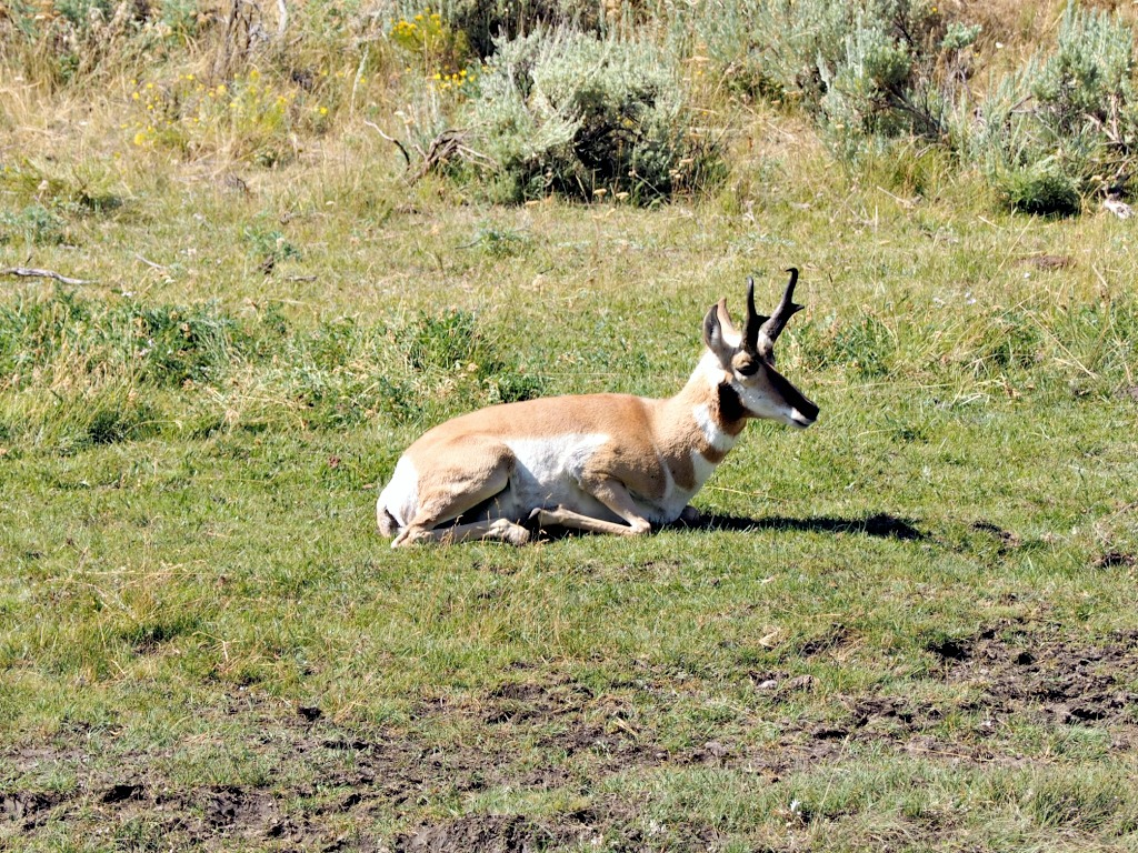 Beartooth Highway, Beartooth Pass, Beautiful Drives in Montana, National scenic highway, Yellowstone National Park, pronghorn