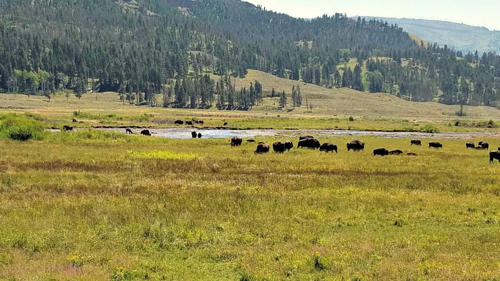 Beartooth Highway, Beartooth Pass, Beautiful Drives in Montana, National scenic highway, Yellowstone National Park, bison