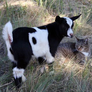 Harry goat and Stinky the Farm cat