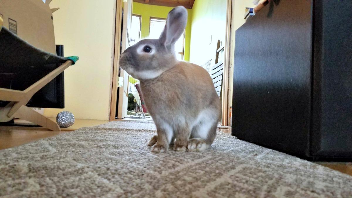 5 tips to welcome a rescue rabbit, rescue bunny, Cappuccino the bunny, rescue rabbit