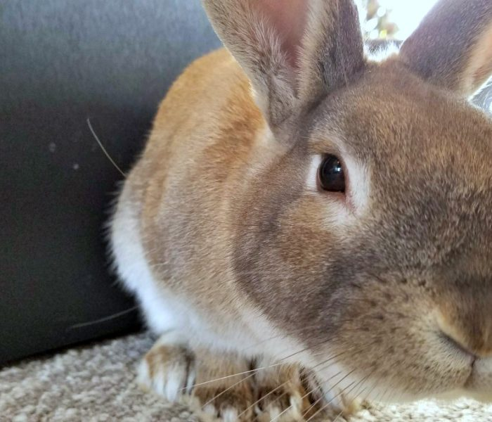 Welcoming a Rescue Rabbit into Our Lives – Meet Cappuccino the Bunny