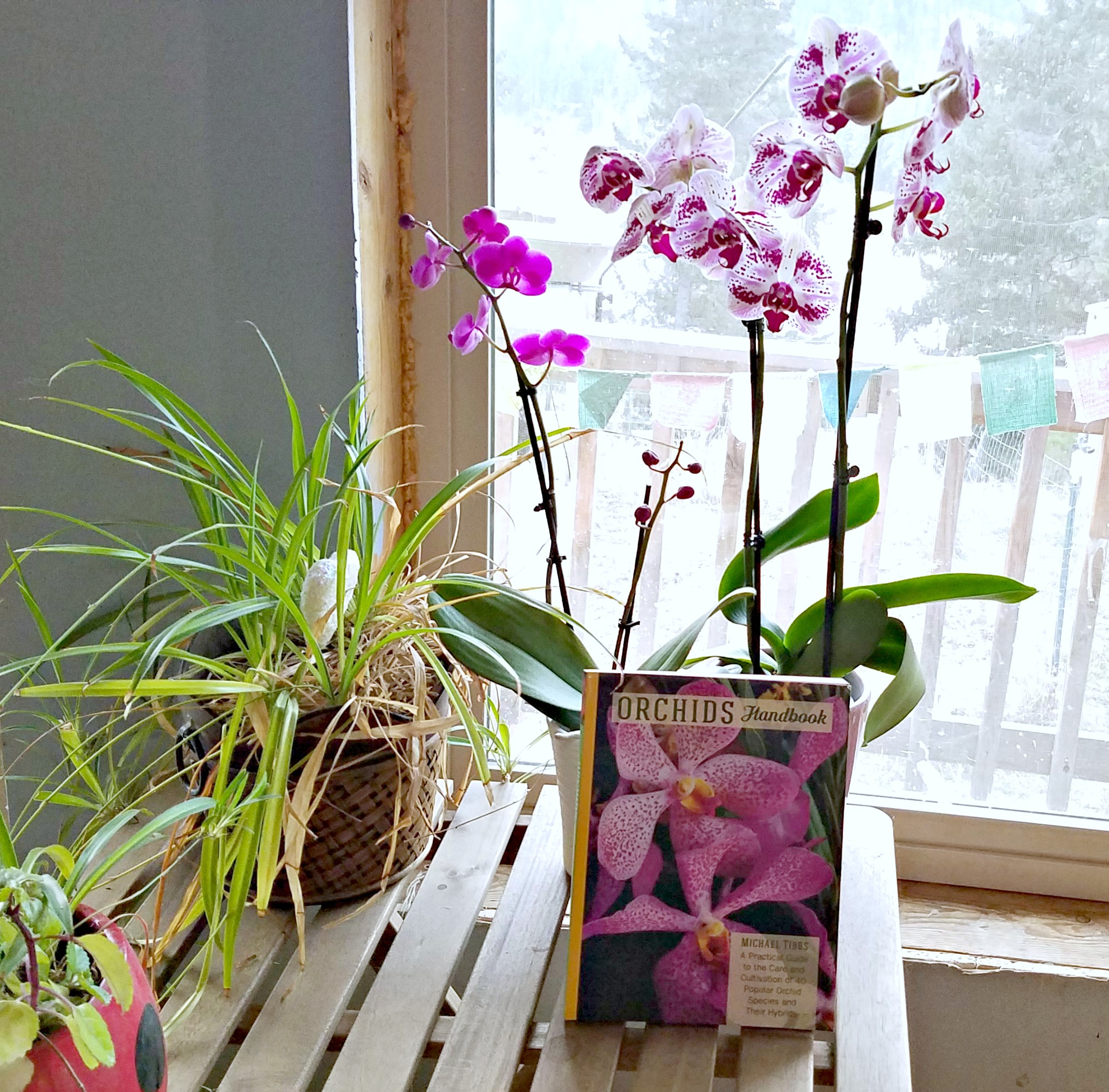 Orchids Handbook, phalaenopsis orchids, AD