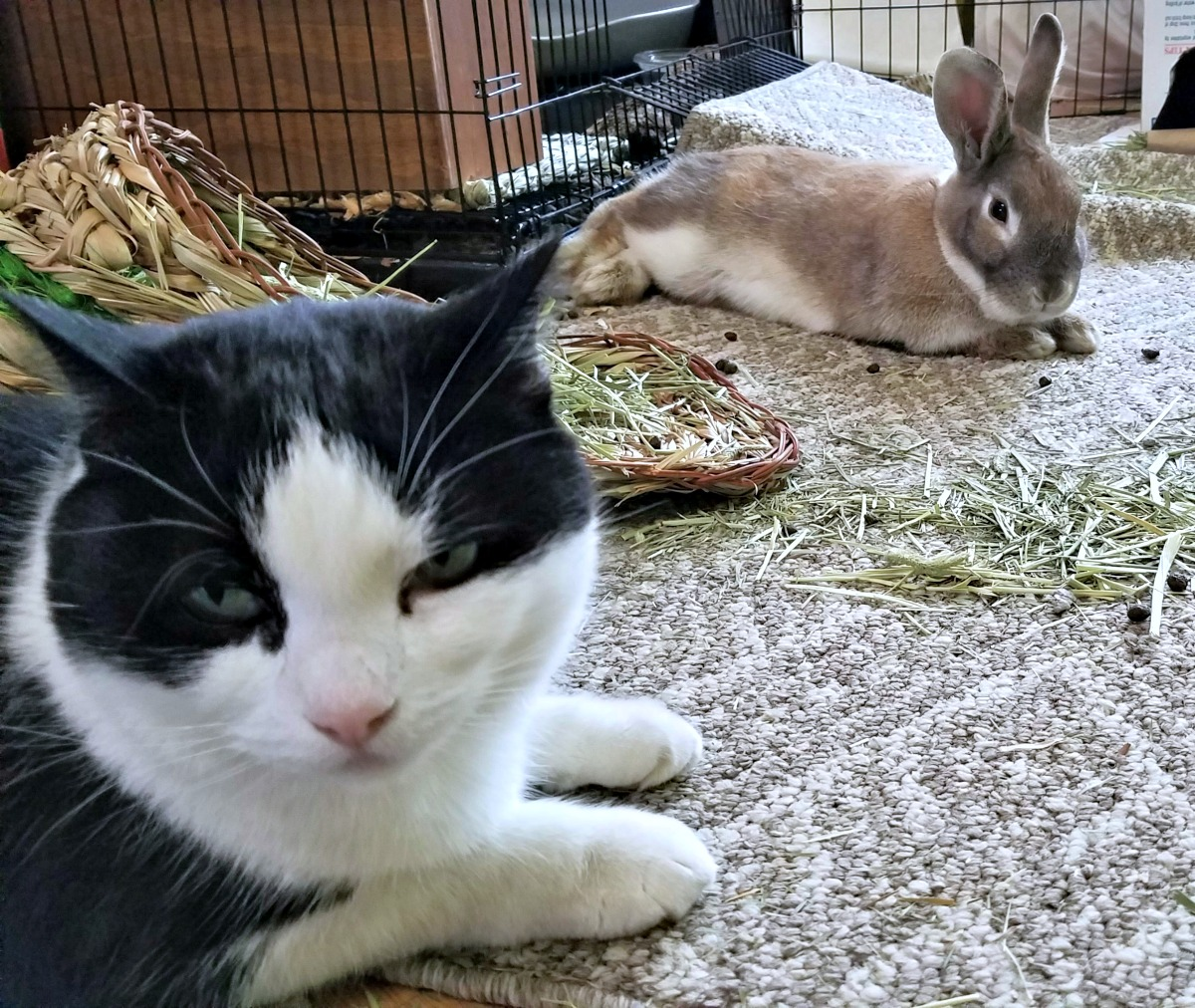 introducing rabbit to cats, rescue rabbit