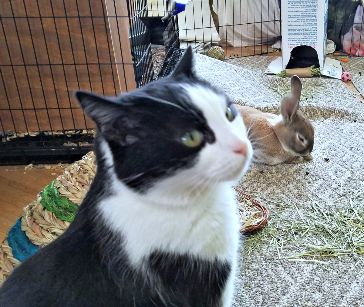 introducing a rescue rabbit to cats, rescue rabbit, cats
