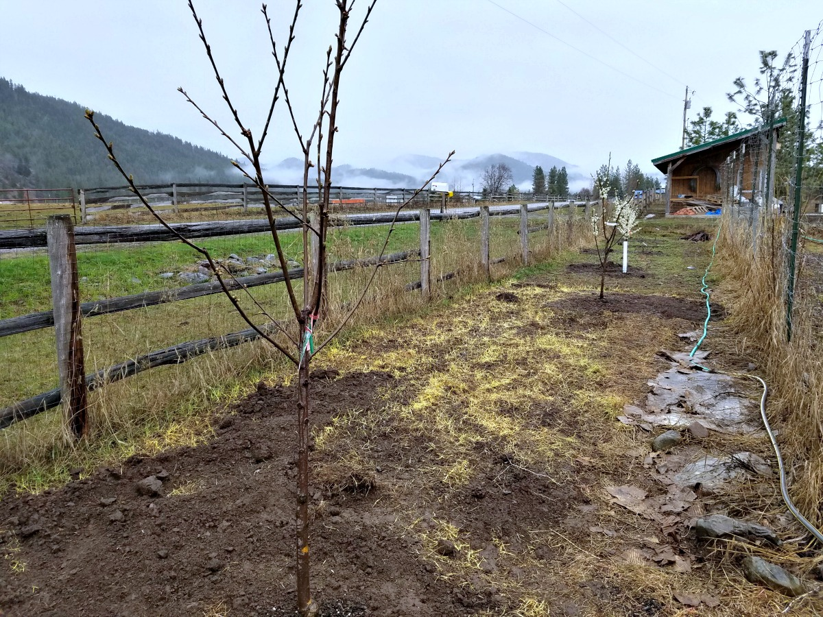 growing cherry trees, planting plum trees, plum trees