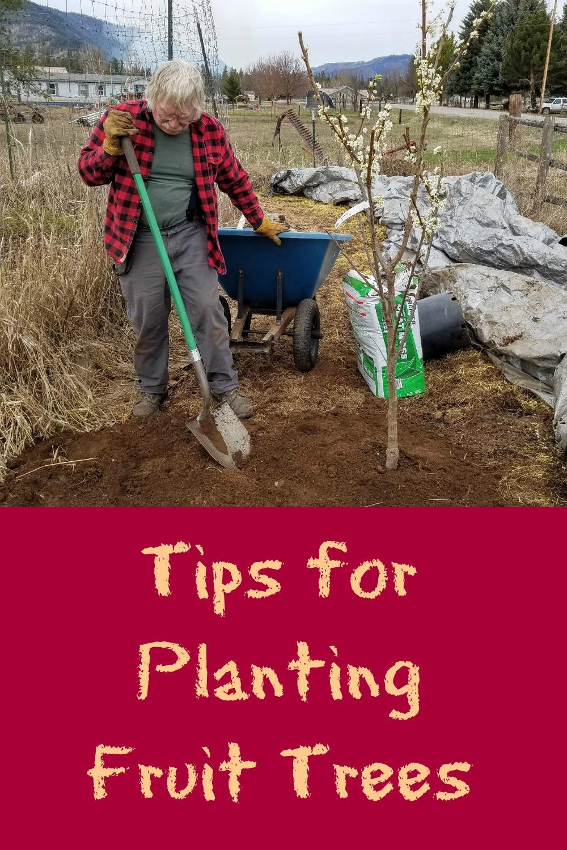 Tips For Planting Fruit Trees Cherry And Plum Plus Hazelnut