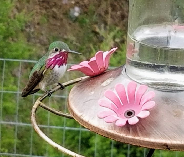 Tips for Attracting Hummingbirds to Your Yard – Gift Ideas Too!