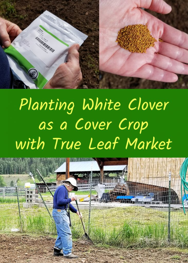 planting white clover as a cover crop