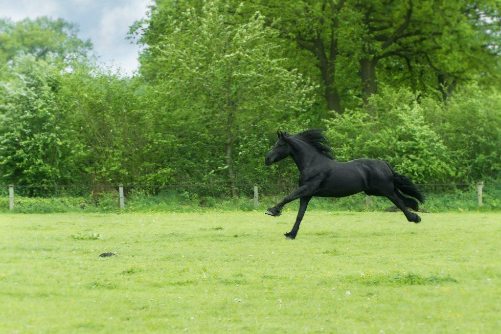 black horse kicking